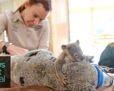 Baby Koala Clings to Mom During Operation, This Is What Love Looks Like.